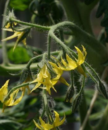 Die Tomate Green Doctors hat einen guten Blütenansatz.