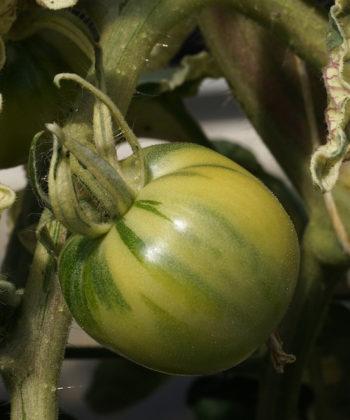 Die noch unreifen Tomaten von Splash of Cream sind wild gestreift.