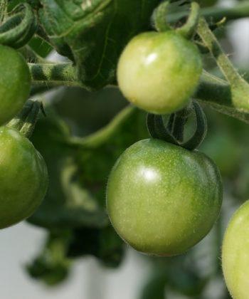 Die unreifen Tomaten von Green Doctors kann man gut von den reifen unterscheiden.