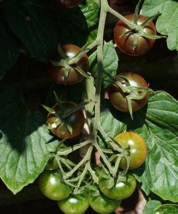 Eine empfehlenswerte Cocktailtomate ist die Sorte Black Cherry.