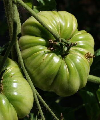 Noch grüne Früchte der Stabtomate 'Marianna's Peace'.