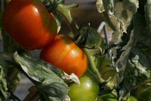 Während das Laub buntlaubig bleibt, färben sich die Tomaten von Splash of Cream rot.