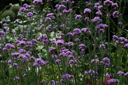 Verbena bonariensis eine Schönheit aus dem fernen Patagonien.