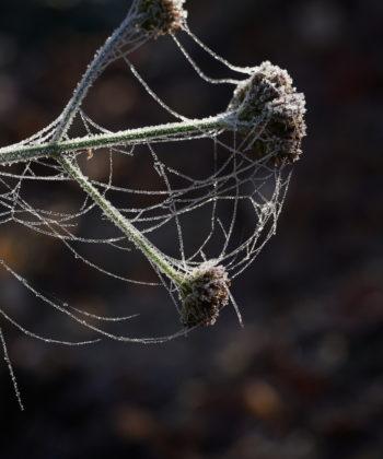 Verbena bonariensis ist im herbstliche Garten oft mit Raureif überzogen.