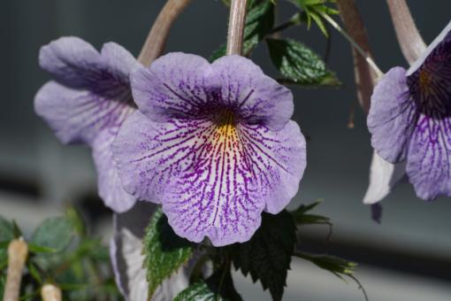 Hellblaue Blüten und ein Netz von tief violetten Adern sind das Markenzeichen von Achimenes Ambroise Verschafelt.