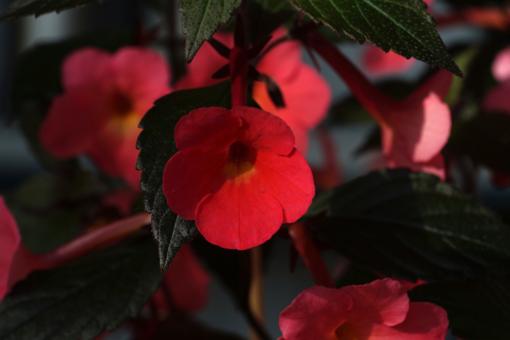 Achimenes Coral Sunset besitzt leuchtende Blüten