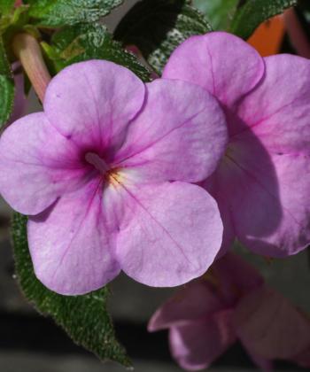 Der Schiefteller Achimenes Just Devine hat leuchtende violett-rosa Blüten.
