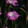 Agrostemma gracilis 'Milas' mit den großen und leuchtenden Blüten.