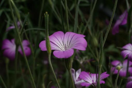 Agrostemma gracilis 'Milas' sollte öfter in Gärten verwendet werden.