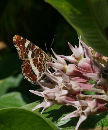 Alle Arten der Gattung Asclepias sind bei bestäubenden Insekten beliebt. Hier Asclepias speciosa.