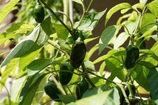 Alle Jalapenosorten sollten für das beste Aroma grün geerntet werden. So auch Jalapeno TAM.