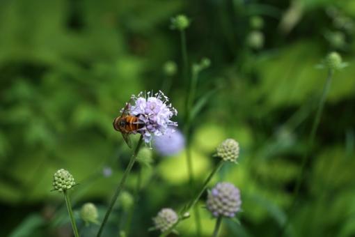 Die Blüten des Morrabbiss (Succisella inflexa) bieten Nahrung für viele nützliche Insekten.