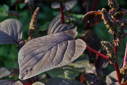 Amaranthus lividus var. rubrum besitzt dekoratives und leckeres rotbraunes Laubwerk.