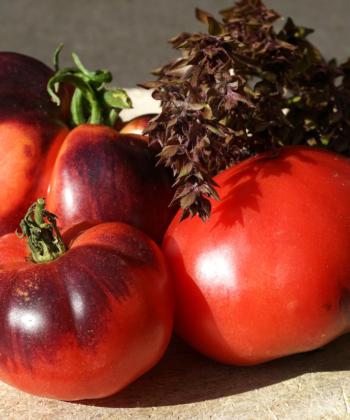 Durch den hohen Anthocyananteil zeigen die Früchte der Tomate 'Amethyst Jewel' eine bviolett-schwarze Grundfärbung.