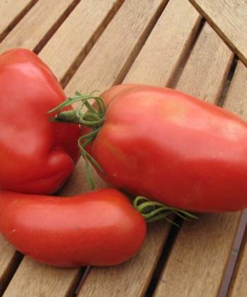 Die Tomate 'Andenhorn' ist eine sehr alte und bewährte Tomatensorte.