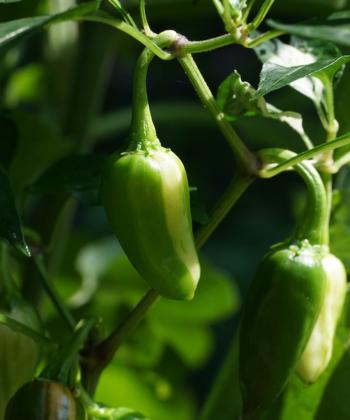 Auch die jungen Chilis sind beim Fish Pepper panaschiert.