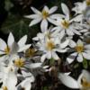 Auch die ungefüllte Wildform der Pflanze Sanguinaria canadensis hat einen hohen Zierwert und ist eine Bereicherung für jedes Gartenbeet.