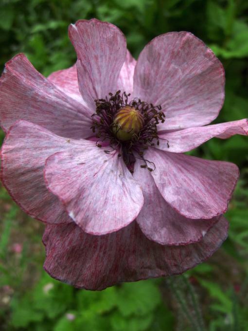 Papaver rhoeas 'Angels Choir' ist eine Samenmischung vom Klatschmohn mit pastellfarbenen halbgefüllten Blüten.