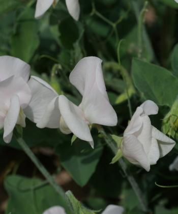 Auch für den Balkon geeignet ist die Sorte Cupid White.