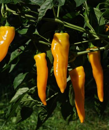 Die gelbe Spitzpaprika Doux Long d' Antibes kann man einfach und leicht im Kübel ziehen.
