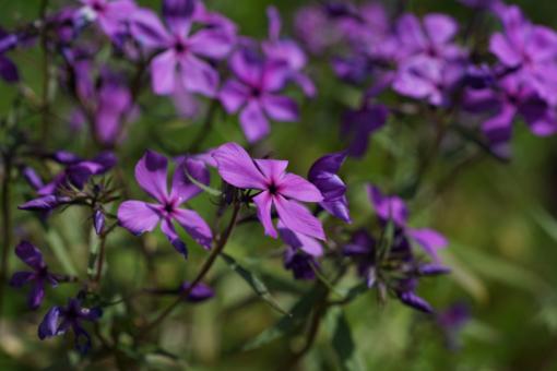 """Auch wenn der deutsche Name """"Waldphlox"""" auf einen schattigen Standort hindeutet, möchte Phlox divaricata 'Eco Texas Purple' eher sonnig stehen."""