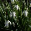 Das Galanthus nivalis 'Viridapice' ist eine alte Schneeglöckchensorte und besitzt grüne Spitzen.