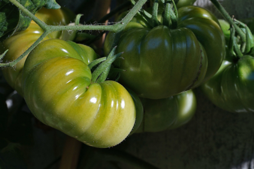 Tomate Aunt Ruby' s German Green 2