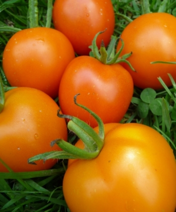 Tomate Auriga