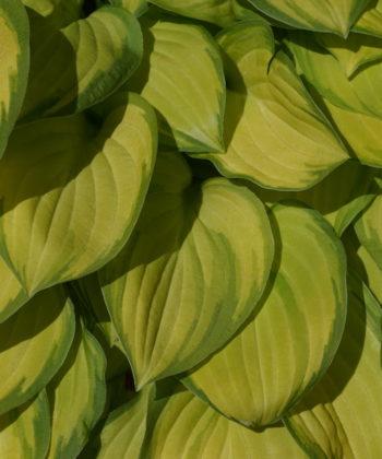 Ausgefärbt besitzt die Hosta Emerald Tiara goldgelbes Laub und einen dunkelgrünen Rand.