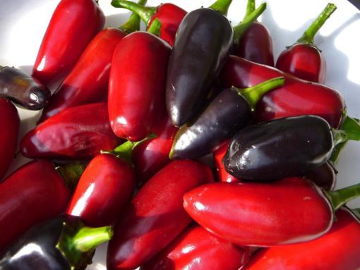 Die Chilischoten von Capsicum 'Purple-Jalapeno' können sowohl unreif (rot) als auch reif (violett) geerntet werden.