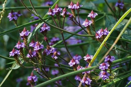 Der Vorteil der Verbene 'Lavender Spires' ist, dass sie keine lästigen Samen bildet. Die Pflanzen bleiben im Garten immer an Ort und Stelle.