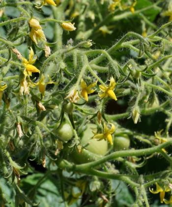 Die Blütenstände der Tomate Geranium Kiss sind üppig und beeindruckend