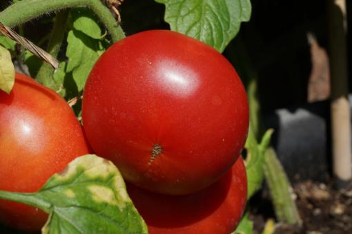 Bereit zur Ernte: Die Tomate Missouri Pink Love Apple.