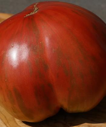 Die Tomate Berkley Tie Dye Pink ist rot-violett und hat grüne Streifen.