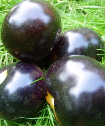 Tomate Blueberry.