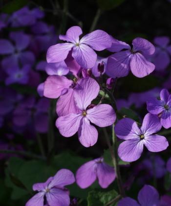Blüten von Lunaria annua 'Corfu Blue'.