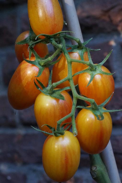 Tomate Blush 2