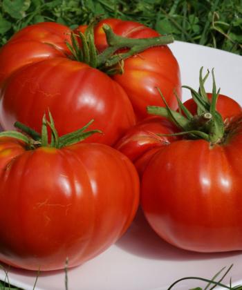 Die Tomate Brandywine Glicks ist höchst aromatisch.