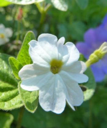 Browallia americana 'Albiflora' wird aus Samen gezogen und ist auch unter dem Namen Jamaikanisches Vergissmeinnicht bekannt.