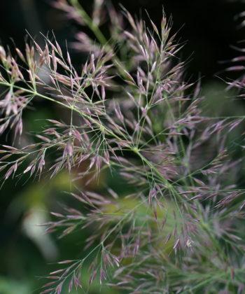 Calamagrostis arundinacea var. brachytricha 'Mona'.
