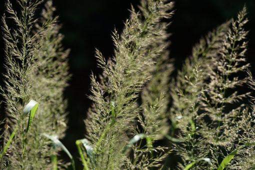 Calamagrostis arundinacea var. brachytricha 'Mona' ist besonders luftig.