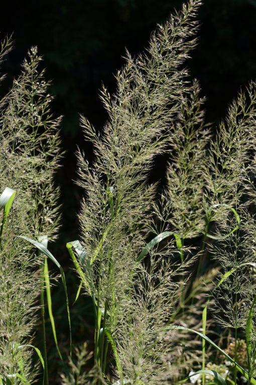 Calamagrostis arundinacea var. brachytricha 'Mona' ist ein wertvolles Herbstgras.