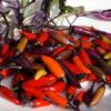 Chili - Capsicum 'Tricolor' ist eine bunte Chili mit schönen Früchten