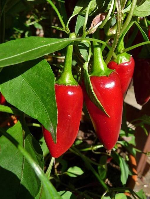 Chili - Capsicum annuum 'Purple Jalapeno' mit reifen Früchten an der Pflanze.