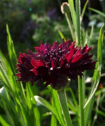 Die schwarze Kornblume Centaurea cyanus 'Black Ball' wird im Garten an Ort und Stelle ausgesät.