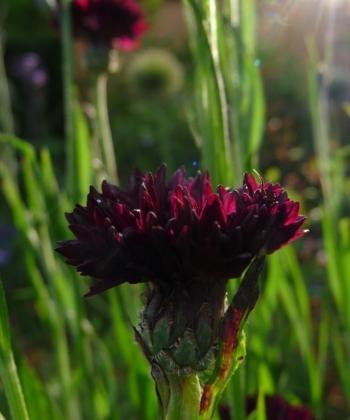 Centaurea cyanus 'Black Ball' 3