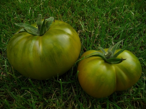 Tomate Cherokee Green