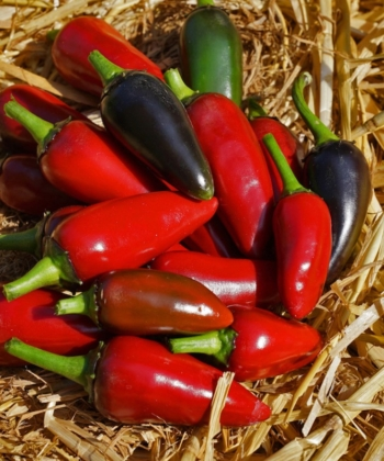 Chili - Capsicum 'Purple-Jalapeno' ist eine leckere Chili