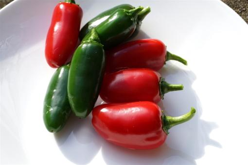 Jalapeno Chilis haben ein besonderes Aroma und können sowohl grün, als auch rot geerntet werden. Hier die besonders milde Sorte 'TAM'.