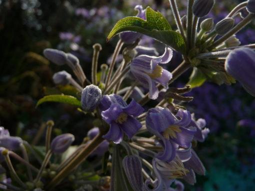 Clematis heracleifolia 'Blue Dwarf' im Morgenlicht.